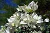 Bougainvillea-White Madona-2005-11-13-0001