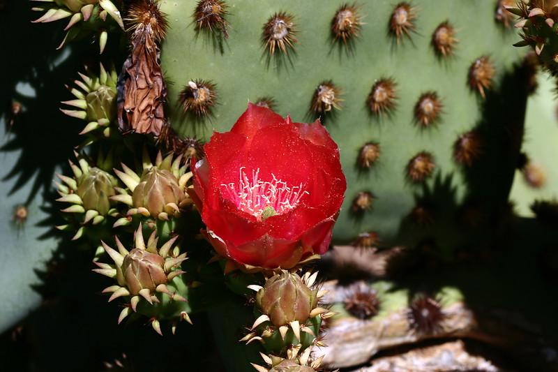 Cactus-Prickly Pear-Chenille-2007-04-01-0001
