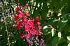 Cardinal Flower-2005-08-24-0001