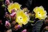 Cactus-Prickly Pear-Blind-2005-05-01-0001