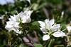 Bauhinia-Little Leaf-2007-04-01-0001