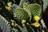 Cactus-Prickly Pear-Blind-2007-04-15-0002