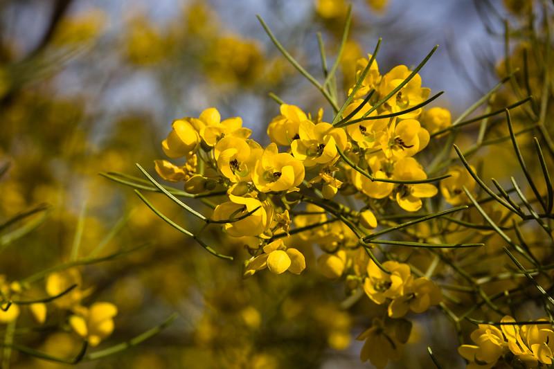 Cassia, Desert-2010-03-21-0001