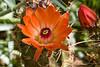 Cactus, Mexican Claret Cup, California Hedgehog-2011-04-17-0001