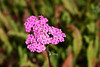 """Achillea-2006-09-07-0004  <font color=""""Yellow""""> My thanks for the ID Information from </font> <a href=""""http://amkphoto.smugmug.com"""">  Arlene  </a>."""