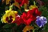 ~Mixed-Petunia-Pansy-2007-04-15-0003