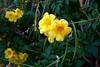 Arizona Yellow Bells-2005-11-13-0002