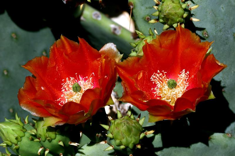 Cactus-Prickly Pear-2007-04-15-0003
