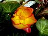 Begonia-2003-07-29-0001