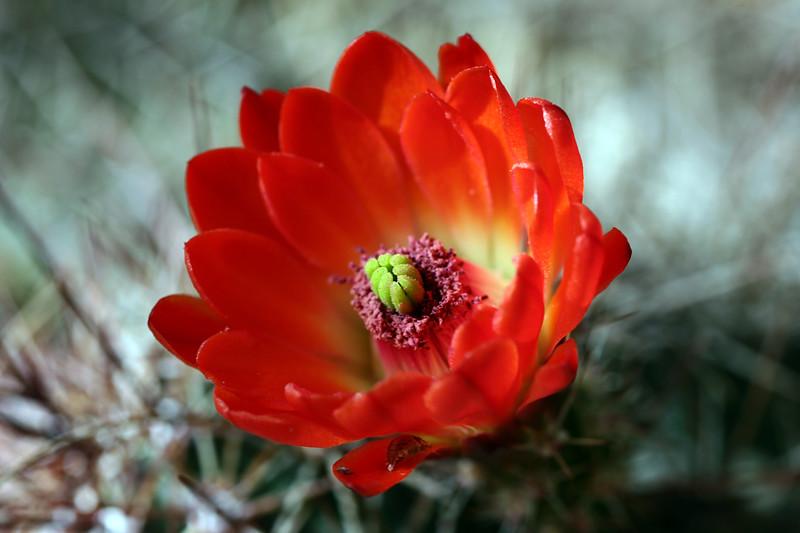 Cactus-Devil Cholla-2007-04-01-0002