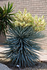 Cactus, Yucca-Blue-2010-04-18-0002