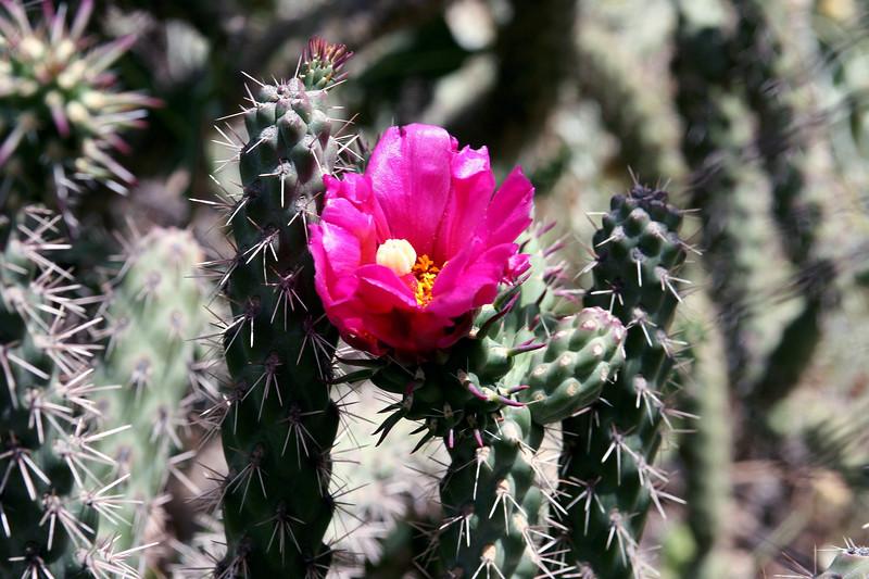 Cactus-Cane Cholla-2005-05-01-0001