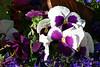 ~Mixed-Pansy-2007-04-15-0001
