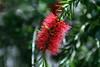 Callistemon Rugulosus [Bottlebrush-Scarlet]-2005-04-10-0001