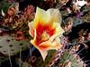 Cactus-Prickly Pear-2004-05-16-0001