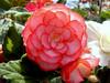 Begonia-2003-07-29-2001