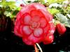Begonia-2003-07-29-0004