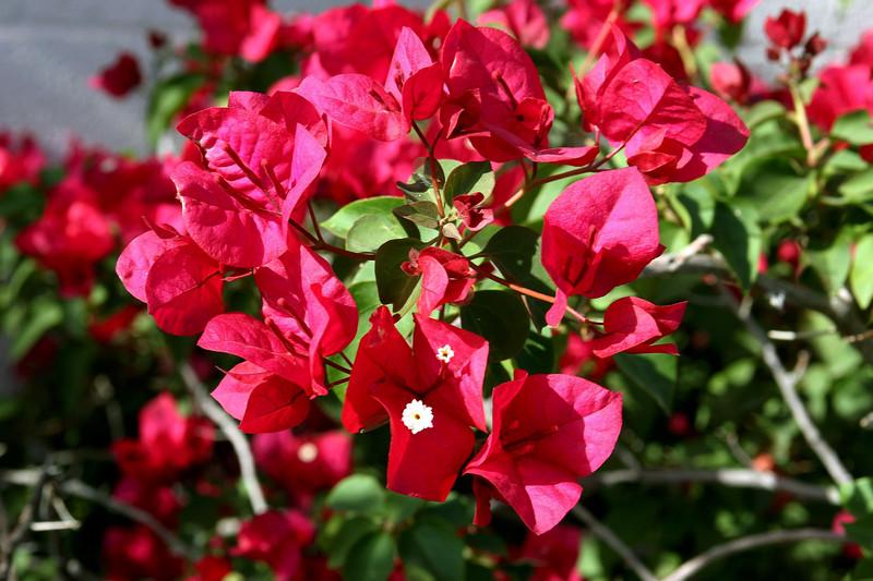 Bougainvillea-Mrs. Butt-2005-04-12-0001