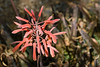 Cactus, Aloe-Partridge Breast-2011-04-17-0002
