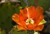 Cactus-Prickly Pear-2010-04-20-0001<br /> <br /> Shot at Phoenix, AZ-Rio Salado