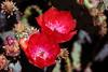 Cactus-Chenille Prickly Pear-2005-04-10-0001