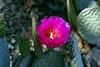 Cactus-Prickly Pear-Beavertail-2007-04-15-0004