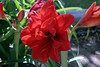Amaryllis-Red Peacock-2005-04-11-0001