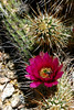 V-Cactus-Hedgehog-Engelmann's-2007-04-15-0001