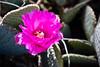 Cactus, Beavertail-Dwarf-2010-04-18-0001