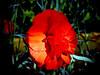 Carnation-2003-12-07-0001