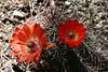 Cactus-Devil Cholla-2007-04-01-0001
