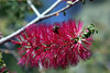 Callistemon Rugulosus [Bottlebrush-Scarlet]-2005-04-10-0002