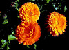 Calendula-2003-12-07-0001