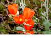 Globemallow-Little Leaf-[spharalcea parvifolia]-2005-02-21-0001
