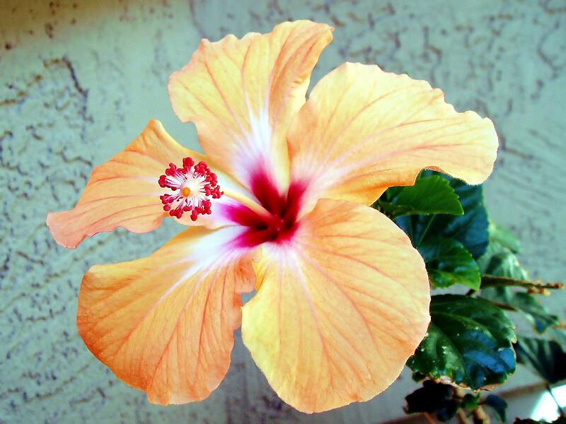 Hibiscus-Rosa-Sinensis-2005-04-10-0001