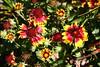 Gaillardia-Grandiflora Kobold-Blanket Flower-2006-09-07-0003