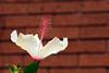 Hibiscus-Arnottianus-2006-04-09-0003