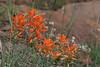 Desert Indian Paintbrush-2008-09-02-0002