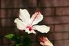 Hibiscus-Arnottianus-2006-04-09-0002