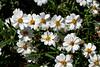 Daisy-Blackfoot-2007-04-15-0001