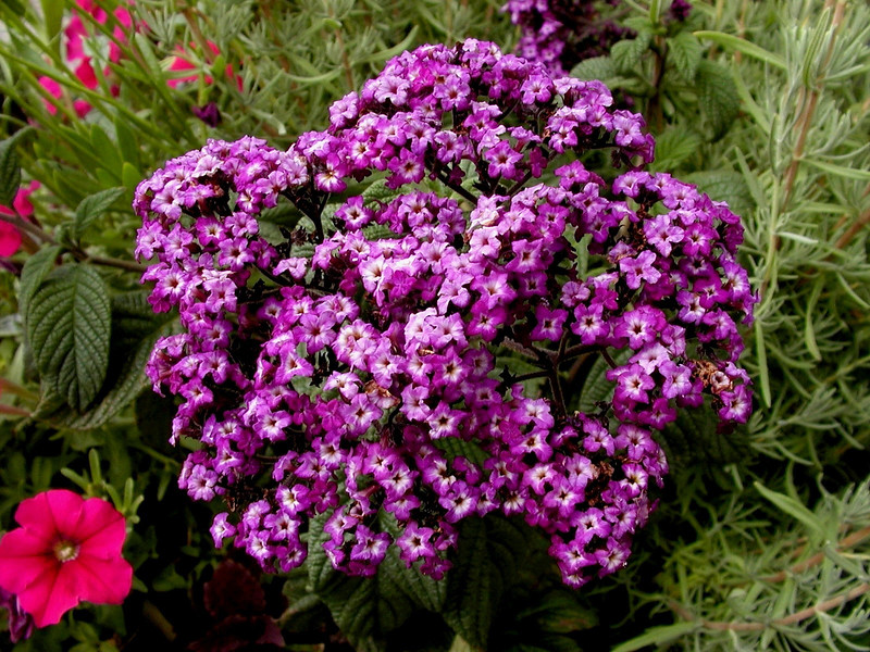 """Heliotrope-2003-08-01-0003  <font color=""""Yellow""""> My thanks for the ID Information from </font> <a href=""""http://amkphoto.smugmug.com"""">  Arlene  </a>."""