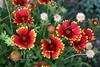 Gaillardia-Grandiflora Cultivar-Blanket Flower-2006-09-14-0002