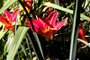 DayLily-Coquetry-2005-06-28-0001