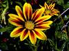 Gazania-Sunshine Hybrid-2003-07-29-0001