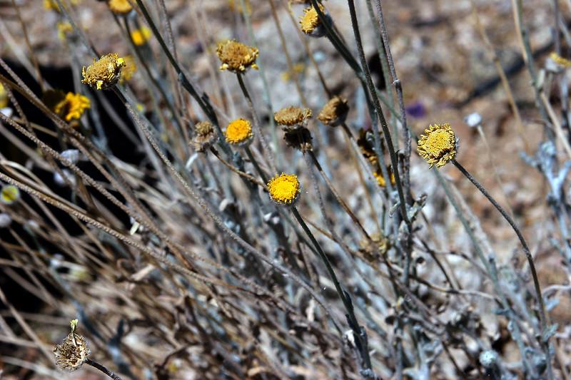 Desert Marigold-2006-05-14-0001