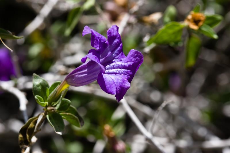 Desert Ruellia-2011-04-17-0002