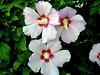 Hibiscus-Syriacus-Woodbridge-2003-09-05-0003
