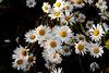 Daisy-Shasta-2005-06-28-0002