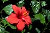 Hibiscus-Rosa-Sinensis-2005-04-11-0001