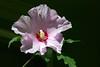 Hibiscus-Syriacus-Cultivar-2005-08-24-0001